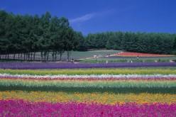 เที่ยวฮกไกโดญี่ปุ่น : ทริปเที่ยวฮอกไกโดชมทุ่งลาแวนเดอร์ 5 วัน 4 คืน
